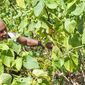 Kava exports as an economic activity