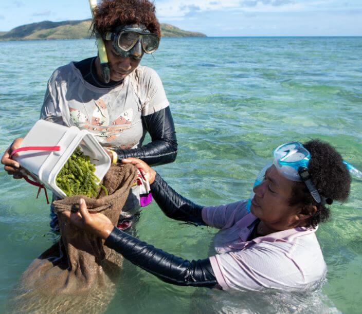 Nama Fiji nama harvesting